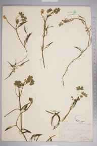 Ranunculus peltatus herbarium specimen from Shedfield, VC11 South Hampshire by Mr Frederick Townsend.