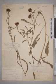 Centaurea debeauxii subsp. nemoralis herbarium specimen from Horley, VC17 Surrey in 1887 by Mr William Hadden Beeby.