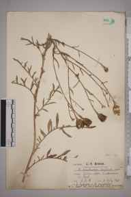 Centaurea scabiosa x nemoralis herbarium specimen from Luddesdown, VC16 West Kent in 1921 by Mr Charles Edward Britton.