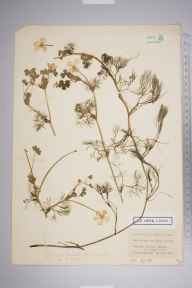 Ranunculus peltatus herbarium specimen from Bookham Common, VC17 Surrey in 1950 by Edward Benedict Bangerter.
