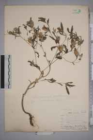 Centaurea pallescens herbarium specimen from Leith Docks, VC83 Midlothian in 1907 by James Fraser.