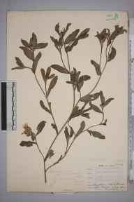 Centaurea sicula herbarium specimen from Leith Docks, VC83 Midlothian in 1907 by James Fraser.
