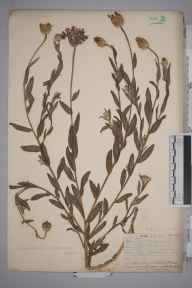 Centaurea depressa herbarium specimen from Leith Docks, VC83 Midlothian in 1906 by James Fraser.