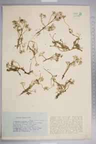 Ranunculus peltatus herbarium specimen from Warlingham, VC17 Surrey in 1927 by Mr Job Edward Lousley.