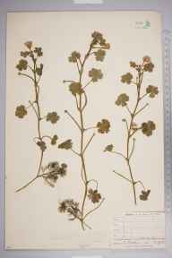 Ranunculus peltatus herbarium specimen from Chailey Common, VC14 East Sussex in 1903 by Thomas Hilton.