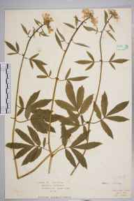 Cardamine bulbifera herbarium specimen from Chandlers Cross, VC20 Hertfordshire in 1922 by Mr Isaac A Helsby.