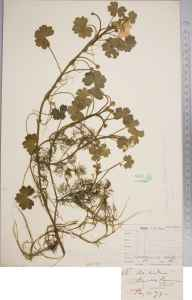 Ranunculus peltatus herbarium specimen from Hamble Common, VC11 in 1873 by Mr Frederick Townsend.