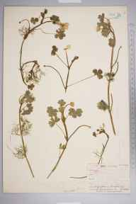 Ranunculus peltatus herbarium specimen from Twycross, VC55 Leicestershire in 1843 by Mr Frederick Townsend.