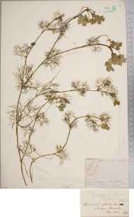 Ranunculus peltatus herbarium specimen from Sandown, VC10 Isle of Wight in 1857 by Mr Frederick Townsend.
