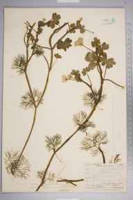Ranunculus peltatus herbarium specimen from Devil's Dyke, VC13 West Sussex in 1906 by Thomas Hilton.