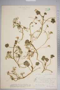 Ranunculus peltatus herbarium specimen from Westerleigh, VC34 West Gloucestershire in 1921 by Ida Mary Roper.