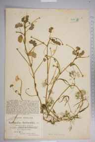 Ranunculus peltatus herbarium specimen from Yate Lower Common, VC34 West Gloucestershire in 1917 by Mr James Walter White.