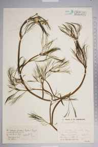Ranunculus penicillatus subsp. pseudofluitans herbarium specimen from Robertsbridge, VC14 East Sussex by Mr Job Edward Lousley.