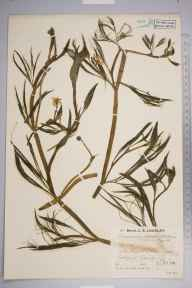 Ranunculus penicillatus subsp. pseudofluitans herbarium specimen from Redlynch, VC11 South Hampshire in 1935 by Mr Job Edward Lousley.