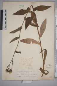 Hieracium prenanthoides herbarium specimen from Lochan na Lairige, VC88 Mid Perthshire in 1887 by Rev. Edward Shearburn Marshall.