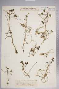 Ranunculus baudotii herbarium specimen from Lizard, VC1 West Cornwall in 1929 by Mr Job Edward Lousley.