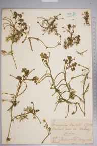 Ranunculus baudotii herbarium specimen from Wallasey, VC58 Cheshire in 1866 by Mr Frederick Morgan Webb.
