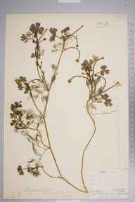 Ranunculus baudotii herbarium specimen from Plumstead, VC16 West Kent in 1894 by Mr Henry Groves.