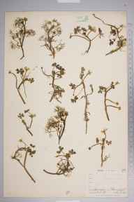 Ranunculus baudotii herbarium specimen from Ruan Major, VC1 West Cornwall in 1899 by Mr Allan Octavian Hume.
