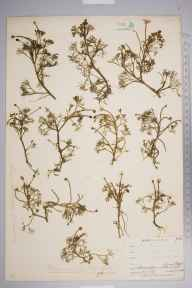 Ranunculus baudotii herbarium specimen from Falmouth, Swan Pool, VC1 West Cornwall in 1900 by Mr Allan Octavian Hume.