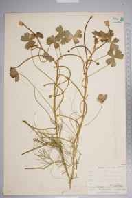 Ranunculus baudotii herbarium specimen from Burnham on Crouch, VC18 South Essex in 1894 by Mr Henry Groves.