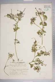Ranunculus baudotii herbarium specimen from Littlehampton, VC13 West Sussex in 1927 by Mr Edward Charles Wallace.