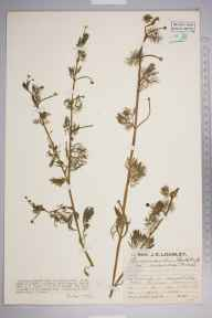 Ranunculus baudotii herbarium specimen from Berrow, VC6 North Somerset in 1929 by Mr Job Edward Lousley.