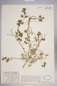 Ranunculus baudotii herbarium specimen from Almondsbury, VC34 West Gloucestershire in 1928 by Mr James Walter White.
