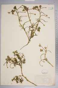 Ranunculus baudotii herbarium specimen from Stubbington, VC11 South Hampshire in 1879 by Mr Frederick Townsend.