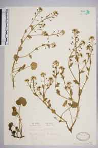 Cochlearia officinalis herbarium specimen from Cheddar Gorge, VC6 North Somerset in 1929 by Mr Patrick Martin Hall.
