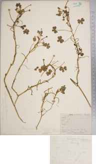 Ranunculus baudotii herbarium specimen from Hugh Town, VC1 West Cornwall in 1862 by Mr Frederick Townsend.