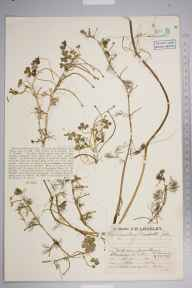 Ranunculus baudotii herbarium specimen from Climping, VC13 West Sussex in 1930 by Mr Job Edward Lousley.
