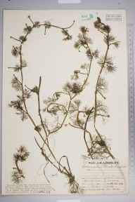 Ranunculus baudotii herbarium specimen from Newhaven, VC14 East Sussex in 1930 by Mr Job Edward Lousley.