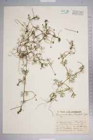 Ranunculus baudotii herbarium specimen from Mullion, VC1 West Cornwall in 1929 by Mr Job Edward Lousley.