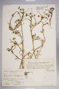Ranunculus baudotii herbarium specimen from Littleton, VC34 West Gloucestershire in 1928 by Mr James Walter White.