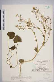 Cochlearia officinalis herbarium specimen from Weston-super-Mare, VC6 North Somerset in 1931 by Mr Charles Waterfall.