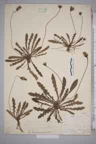 Leontodon  herbarium specimen from Lullingstone, VC16 West Kent in 0 by William Henry Griffin.