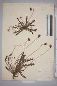 Leontodon hispidus herbarium specimen from Niton, VC10 Isle of Wight in 1898 by Mr Allan Octavian Hume.