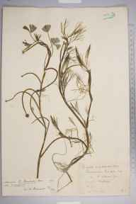 Ranunculus baudotii herbarium specimen from Cuxton, VC16 West Kent in 1894 by Mr Anthony Hurt Wolley Dod.