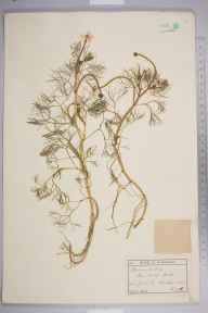 Ranunculus baudotii herbarium specimen from Southwold, VC25 East Suffolk in 1896 by Ernest Stanley Salmon.