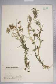 Ranunculus baudotii herbarium specimen from Isle of Grain, VC16 West Kent in 1936 by Mr Job Edward Lousley.