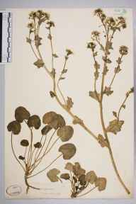 Cochlearia officinalis herbarium specimen from Weston-super-Mare, VC6 North Somerset in 1841 by Joseph Woods.