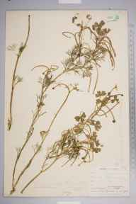 Ranunculus baudotii herbarium specimen from Cliffe, VC16 West Kent in 1900 by Mr Henry Groves.