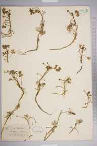 Ranunculus baudotii herbarium specimen from Saint Helen's Spit, VC10 Isle of Wight in 1879 by Mr Frederick Townsend.