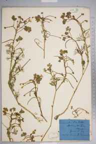 Ranunculus baudotii herbarium specimen from Stubbington, VC11 South Hampshire in 1873 by Mr Frederick Townsend.