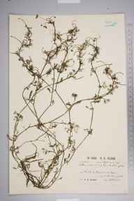 Ranunculus baudotii herbarium specimen from Kynance Farm, VC1 West Cornwall in 1930 by Richard Barker Ullman.