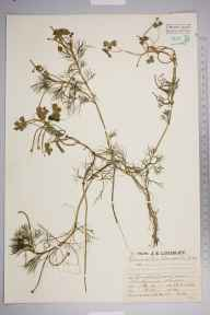 Ranunculus baudotii herbarium specimen from Cuckmere Haven, VC14 East Sussex in 1930 by Mr Job Edward Lousley.