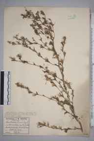 Lactuca serriola herbarium specimen from Avonmouth Docks, Bristol, VC34 West Gloucestershire in 1929 by Mr James Walter White.