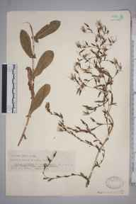 Lactuca serriola herbarium specimen from Sully, VC41 Glamorganshire in 1937 by Mr Arthur Edward Wade.