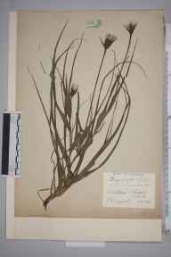 Tragopogon pratensis subsp. minor herbarium specimen from Chiswick, VC21 Middlesex in 1938 by Edward Benedict Bangerter.
